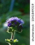 Small photo of flower of blue ageratum in the garden