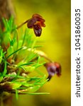 Small photo of Maxillaria (Christensonella) vernicosa from Brazil. Beautiful dark red bloom, close-up detail. Wild flower, South America. Nature travel, tropic forest.