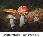 Amanita Muscaria  Poisonous...