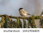marsh tit  poecile palustris ....   Shutterstock . vector #1041906805