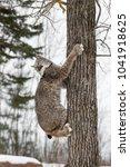 canadian lynx  lynx canadensis  ...   Shutterstock . vector #1041918625