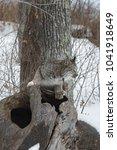 canadian lynx  lynx canadensis  ...   Shutterstock . vector #1041918649