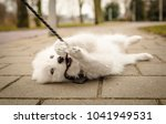 Stock photo cute young playful samoyed puppy lays on the ground with her leash in her mouth and paws 1041949531