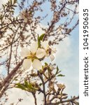 Small photo of Blooming almond tree. Bee on flower almond tree.