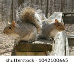 Two Hungry Gray Squirrels...