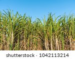sugarcane plant field in clear... | Shutterstock . vector #1042113214