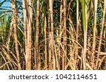sugarcane in the field. | Shutterstock . vector #1042114651