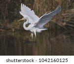 great white egret   Shutterstock . vector #1042160125