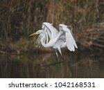 great white egret   Shutterstock . vector #1042168531