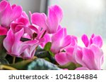 Pink Cyclamen Blooming In Winter