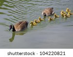 Canada Geese Parents And...