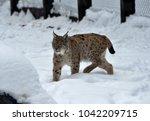 eurasian lynx  lynx lynx ...   Shutterstock . vector #1042209715