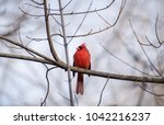 northern male cardinal on a... | Shutterstock . vector #1042216237