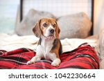 cute beagle lying on bed indoors | Shutterstock . vector #1042230664