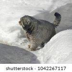 manul cat  felis cat   | Shutterstock . vector #1042267117
