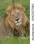 close up headshot of male lion... | Shutterstock . vector #1042327081