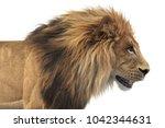 lion african feline dangerous... | Shutterstock . vector #1042344631