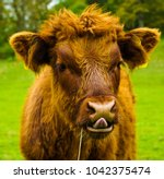 highland cows living the life... | Shutterstock . vector #1042375474