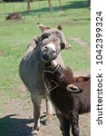 a cute baby donkey nibbles its... | Shutterstock . vector #1042399324