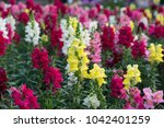 colorful lupine flowers | Shutterstock . vector #1042401259