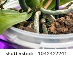 aerial roots of orchids close...   Shutterstock . vector #1042422241