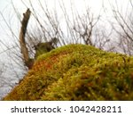 a tree with moss  a view from... | Shutterstock . vector #1042428211