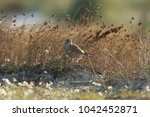 common kestrel  falco...   Shutterstock . vector #1042452871