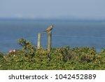 common kestrel  falco...   Shutterstock . vector #1042452889