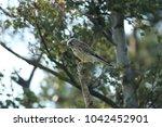 common kestrel  falco...   Shutterstock . vector #1042452901