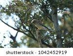 common kestrel  falco...   Shutterstock . vector #1042452919