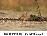 common kestrel  falco...   Shutterstock . vector #1042452925