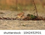 common kestrel  falco...   Shutterstock . vector #1042452931