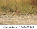 common kestrel  falco...   Shutterstock . vector #1042452949