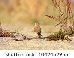 common kestrel  falco...   Shutterstock . vector #1042452955