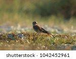 common kestrel  falco...   Shutterstock . vector #1042452961