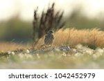 common kestrel  falco...   Shutterstock . vector #1042452979