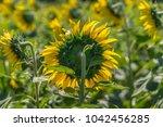 sunflowers growing in a field... | Shutterstock . vector #1042456285