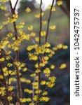 witch hazel  hamamelis mollis  | Shutterstock . vector #1042475737