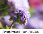 Small photo of blue ageratum in the garden
