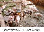 pigs on a farm   Shutterstock . vector #1042523401