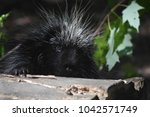 cute black and white porcupine... | Shutterstock . vector #1042571749