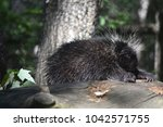 large porcupine climbing over a ... | Shutterstock . vector #1042571755