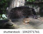 adorable porcupine climbing... | Shutterstock . vector #1042571761