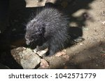 large wild porcupine with its... | Shutterstock . vector #1042571779