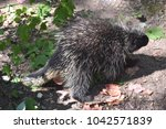 cute black and white porcupine... | Shutterstock . vector #1042571839