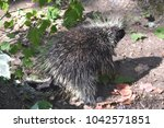 cute wild porcupine with large... | Shutterstock . vector #1042571851