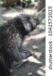 wild north american porcupine... | Shutterstock . vector #1042572025