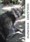 black porcupine reaching for... | Shutterstock . vector #1042572031
