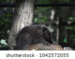 adorable porcupine relaxing on... | Shutterstock . vector #1042572055
