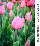 Pink Tulip Blossom In Spring